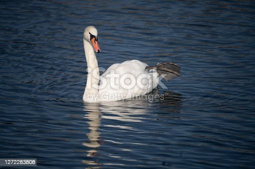 The unique elegance and beuty of swans on the shores of the swiss lakes, Rapperswil, St. Gallen, Switzerland