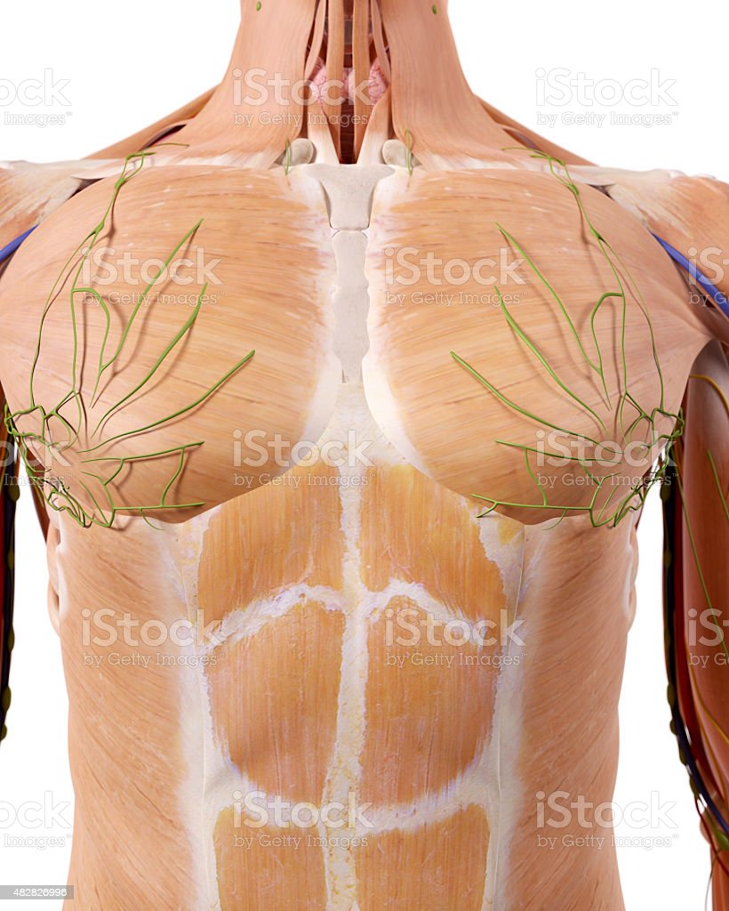 The Upper Body Anatomy Stock Photo More Pictures Of 2015 Istock
