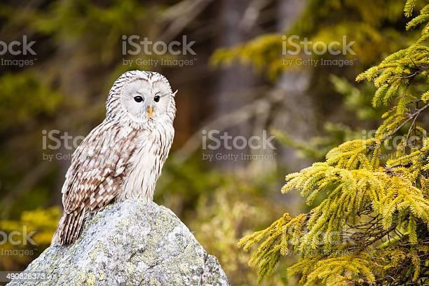 The ural owl strix uralensis picture id490826373?b=1&k=6&m=490826373&s=612x612&h=famjy9uxurusdtgihiyfubcfi10x1iyza1i9r acuaq=