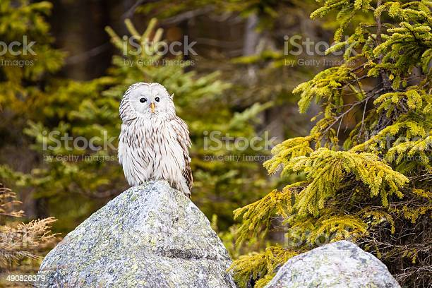 The ural owl strix uralensis picture id490826379?b=1&k=6&m=490826379&s=612x612&h=xvoyc62ctan61xrwmw5ocnmr9tftv2irxahcjexzyfq=