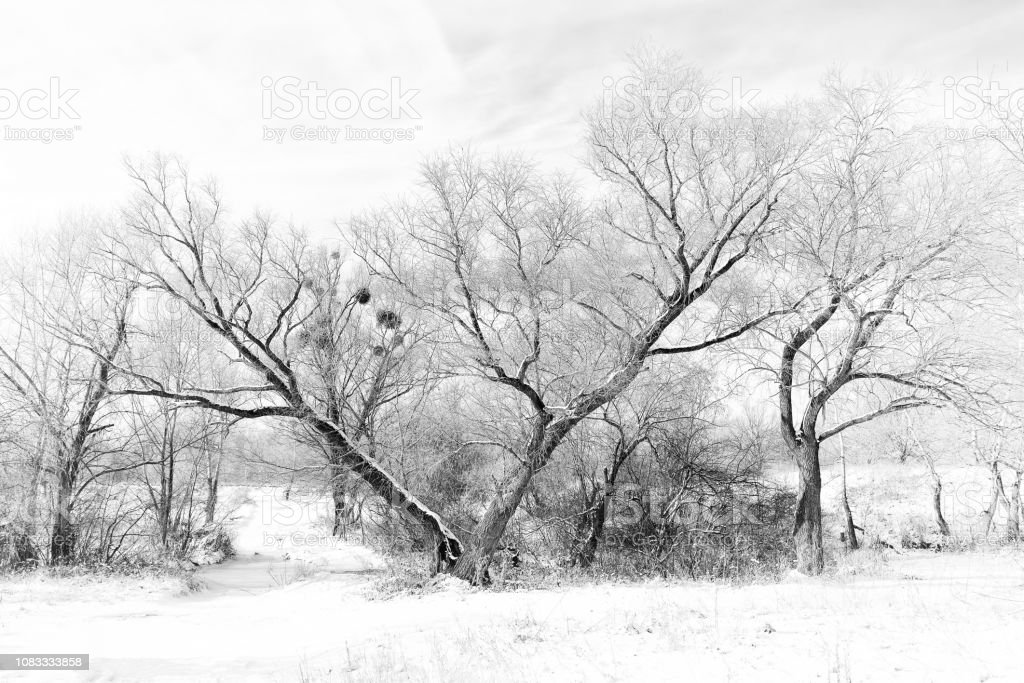"""The V tree under the snow Black and White photo of a broken Willow tree, with a """"V"""" shape, in the snow during winter. Some mistletoe grows in the branches Autumn Stock Photo"""