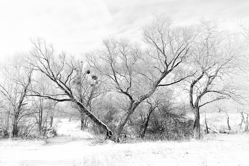 The V Tree Under The Snow Stock Photo - Download Image Now