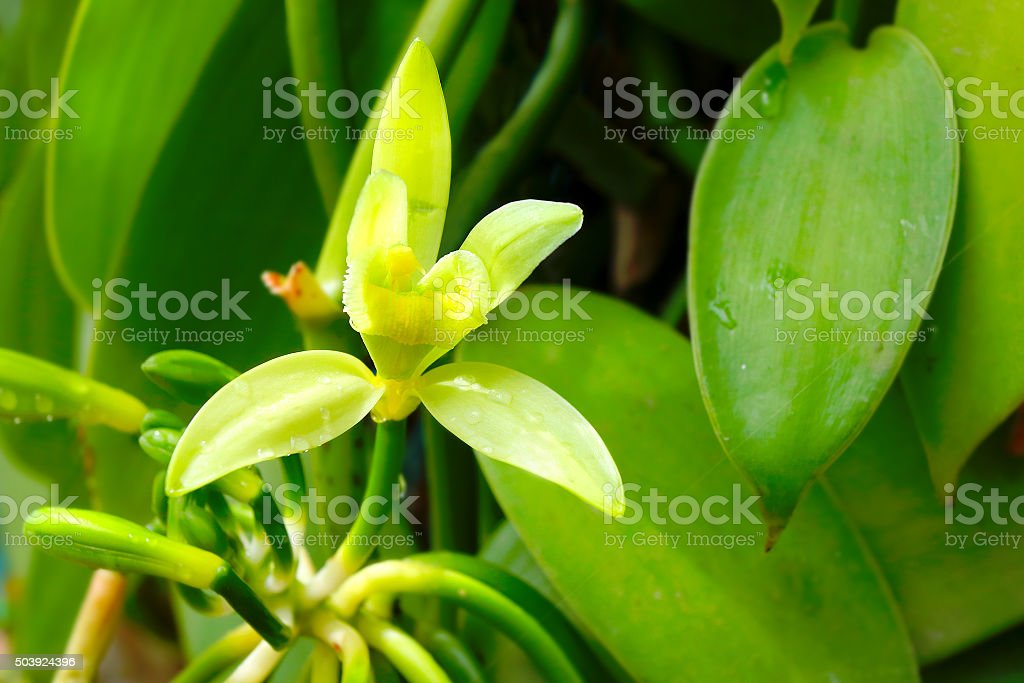 The Vanilla flower. Closeup of The Vanilla flower on plantation. Reunion Island, agriculture in tropical climate. Africa Stock Photo