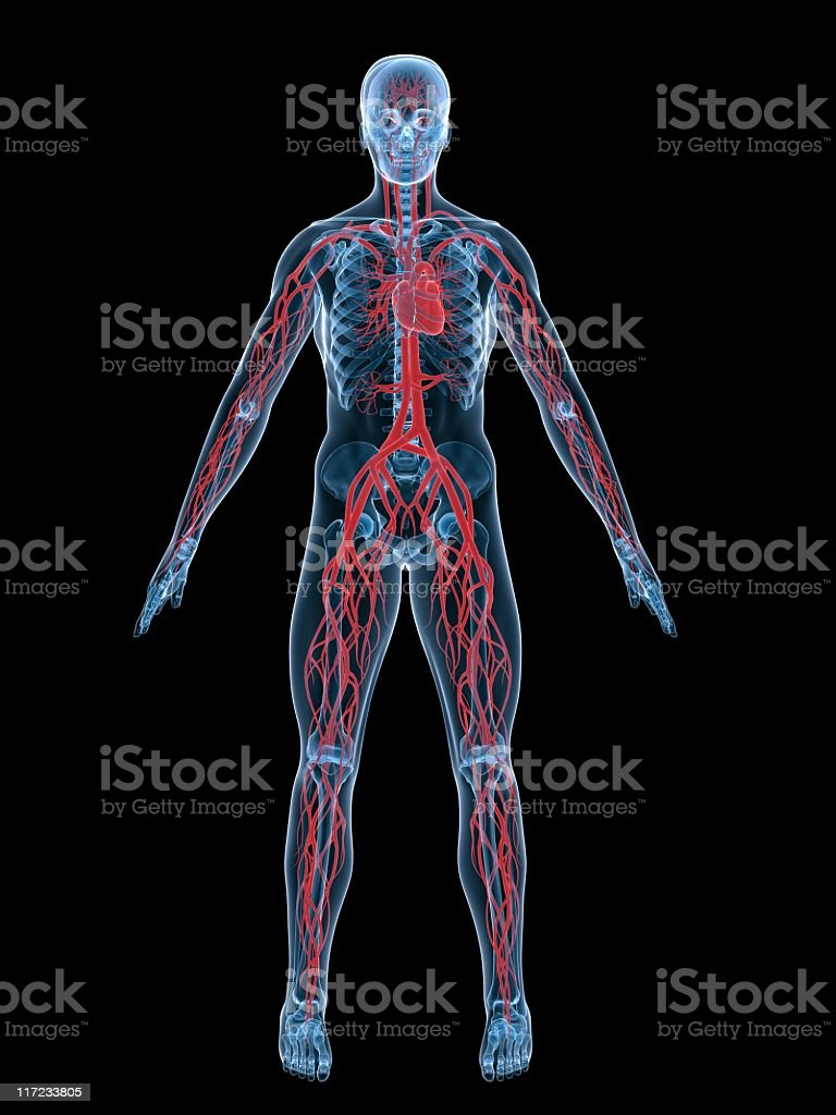 The vascular system in the human body 3D image stock photo