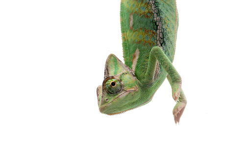 The Veiled Chameleon sitting on a branch isolated on white background