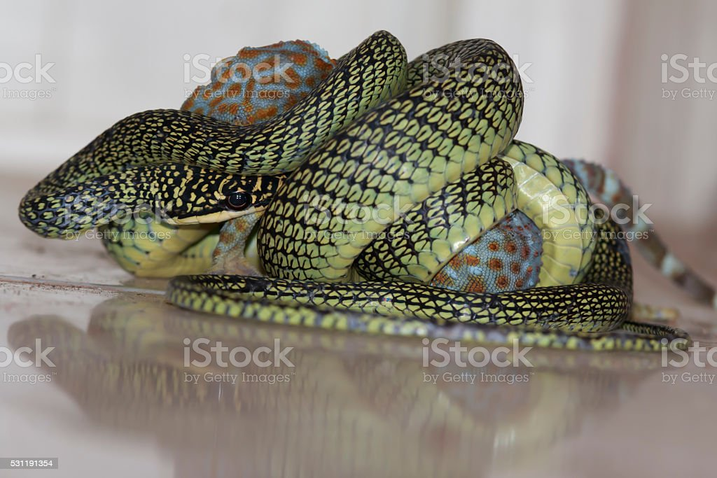 The venom green snake is eating gecko stock photo