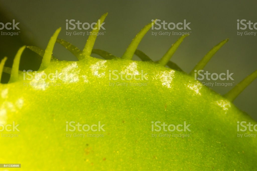 The Venus flytrap (also referred to as Venus's flytrap or Venus' flytrap), Dionaea muscipula, is a carnivorous plant. stock photo