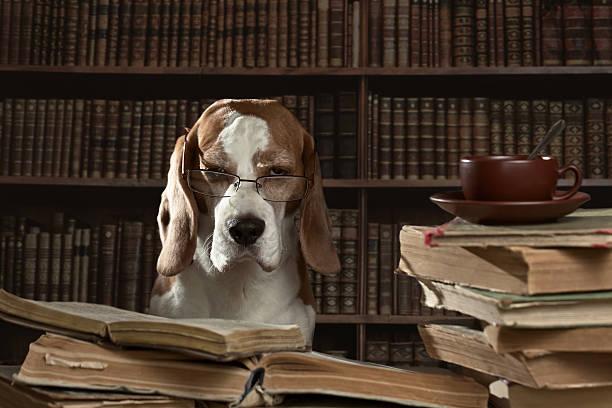 the very smart dog studying old books in library - humor bücher stock-fotos und bilder