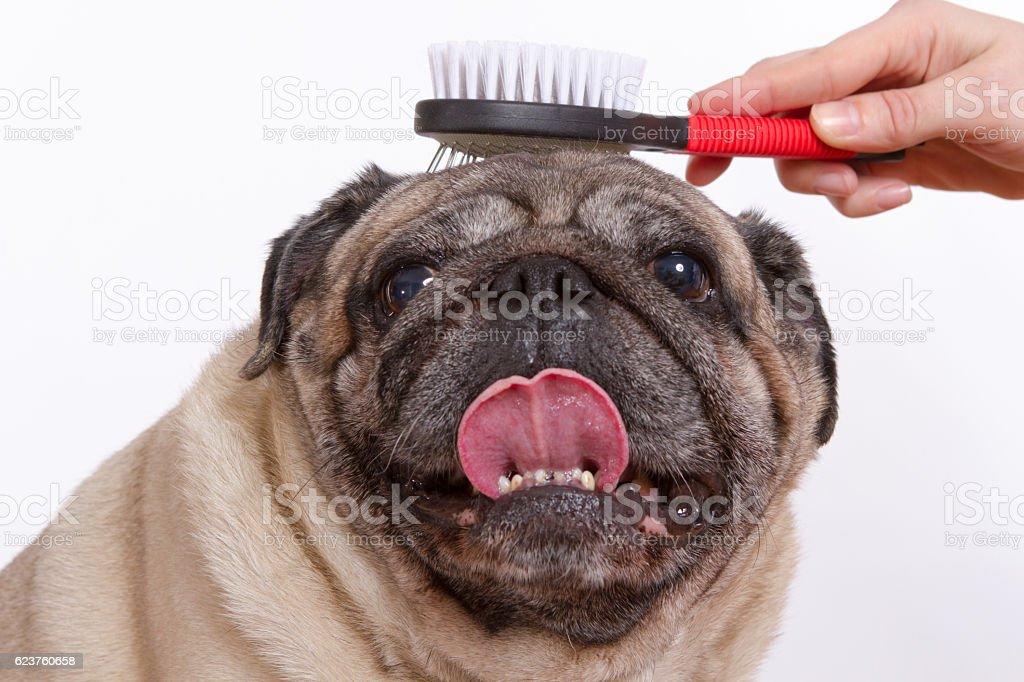 El veterinario toallas lana doguillo perros sobre un fondo blanco - foto de stock