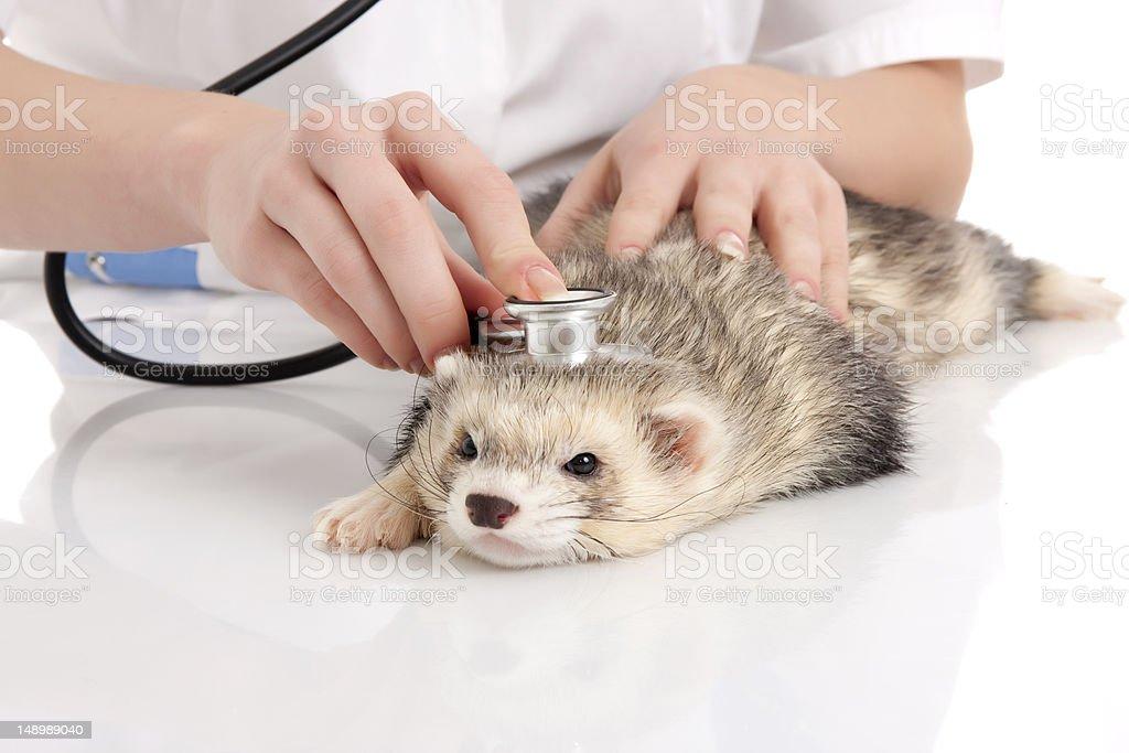 The veterinary surgeon with ferret. stock photo