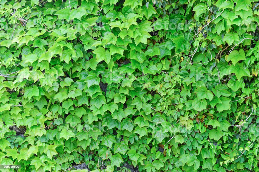 The vines of green leaves were fully covered with wall which made by stones. zbiór zdjęć royalty-free