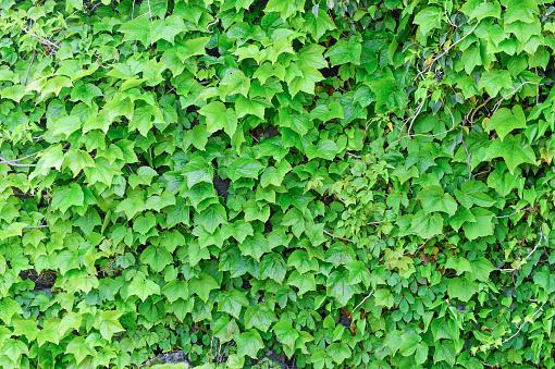 The Vines Of Green Leaves Were Fully Covered With Wall Which Made By Stones - zdjęcia stockowe i więcej obrazów Bez ludzi