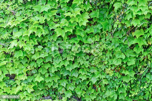 The Vines Of Green Leaves Were Fully Covered With Wall Which Made By Stones Stock Photo & More Pictures of Close-up