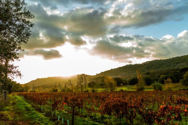 the vineyard #1 - setubal imagens e fotografias de stock
