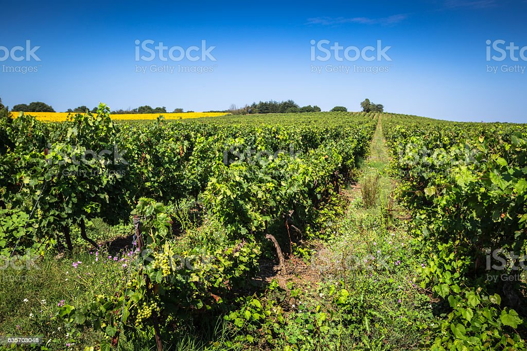 The vineyards along the famous wine route in Alsace, France royalty-free stock photo