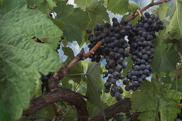 The Vineyard's Bounty – Foto