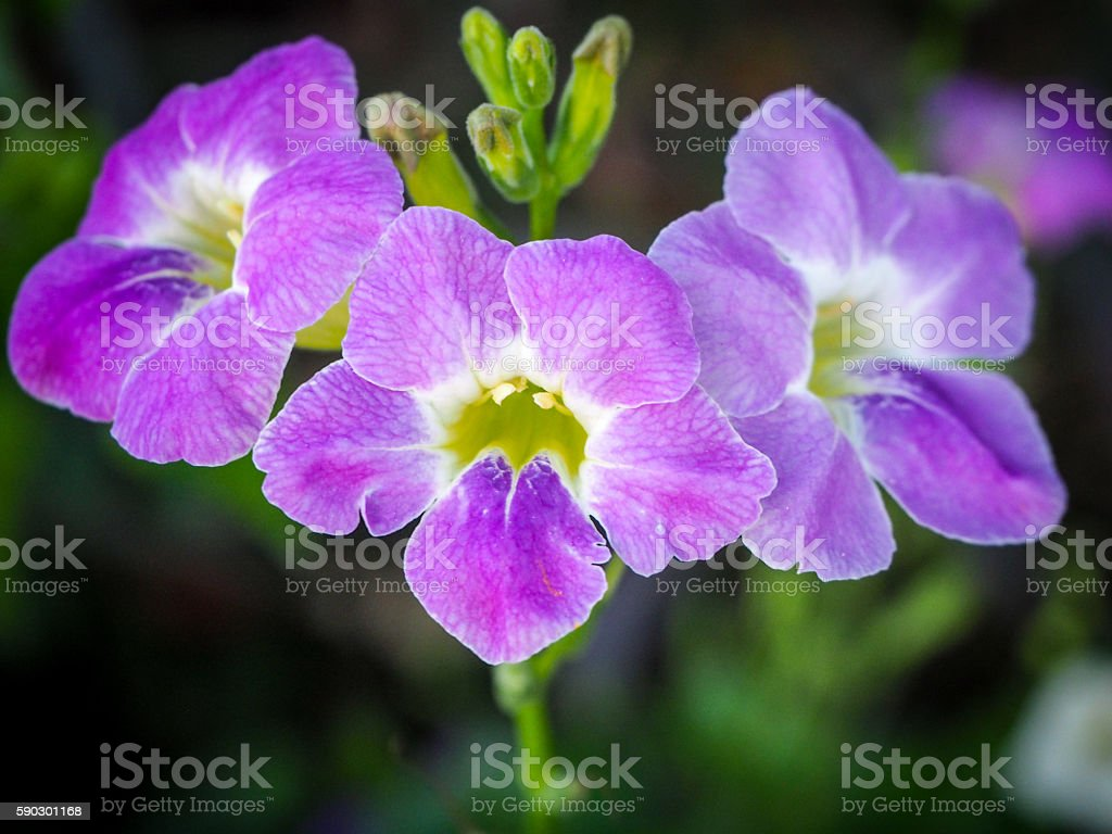 The Violet Flower. royaltyfri bildbanksbilder