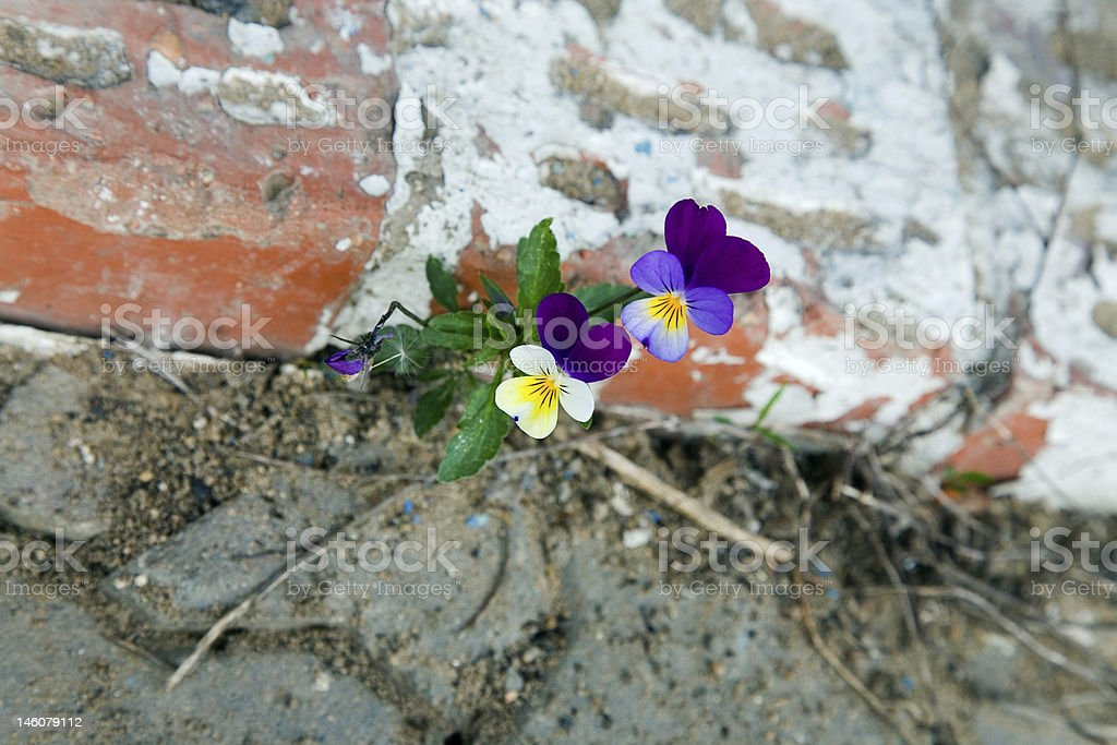 The violet  plant growing on concrete. Will to live royalty-free stock photo