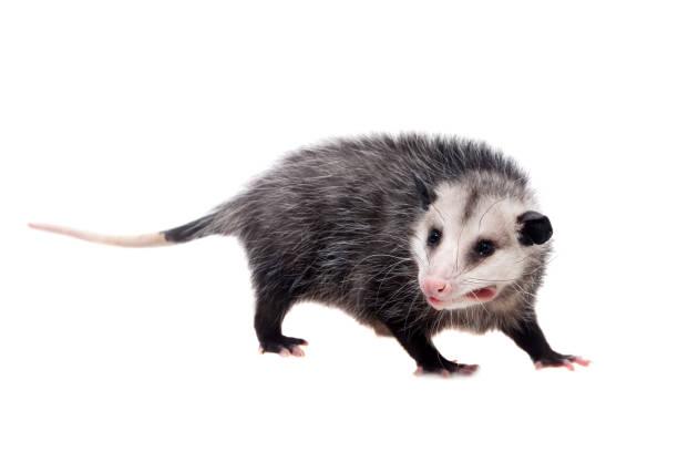 The Virginia opossum, Didelphis virginiana, on white stock photo
