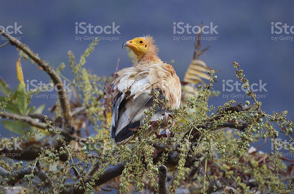 The vultur (Neophron Percnopterus) sits on the branch of the tree stock photo