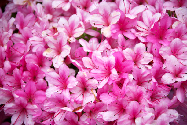 The Wall of Pink Flowers stock photo