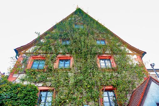 The wall of the vine climbing   - Bamberg, Bavaria, Germany