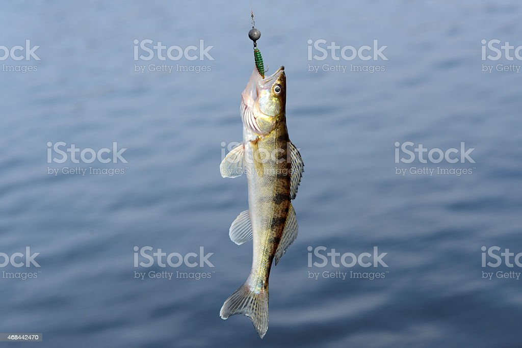 the walleye fish on the hook stock photo