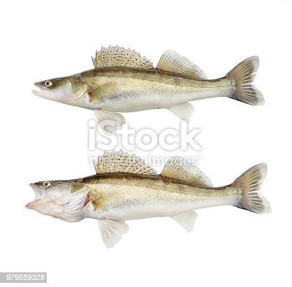 istock The Walleye or Pike-perch - Sander lucioperca. Fishing catch on white background. 979559328