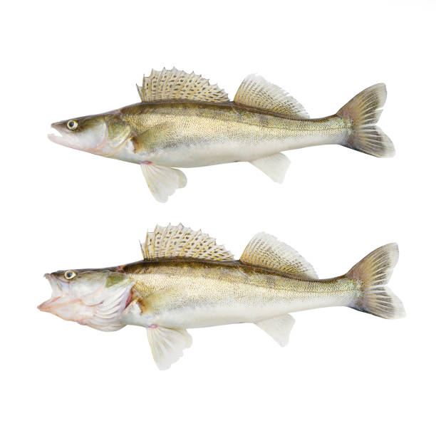 The Walleye or Pike-perch - Sander lucioperca. Fishing catch on white background. The Walleye or Pike-perch - Sander lucioperca. Fishing catch on white background. perch fish stock pictures, royalty-free photos & images