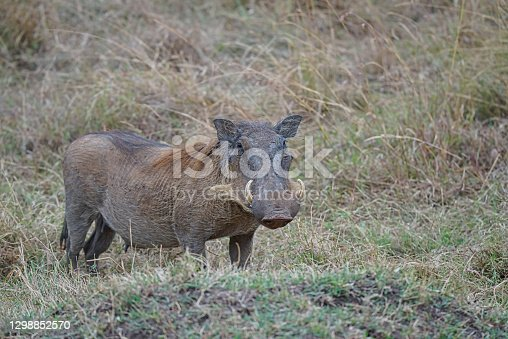 istock The warthog (Phacochoerus africanus) play on the grass. It has two sharp fangs. 1298852570