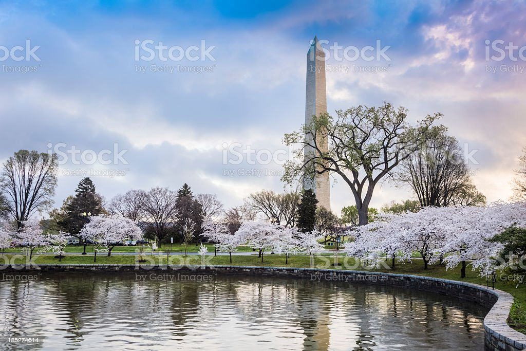 The Washington Monument with beautiful cherry blossoms stock photo
