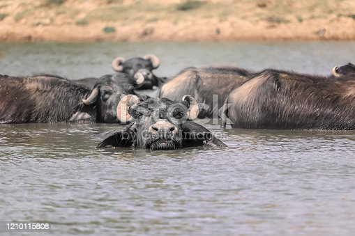 The water buffalo (Bubalus bubalis) or domestic water buffalo is a large bovid originating in the Indian subcontinent, Southeast Asia,Indian buffalo in ground at lakes,Indian water buffalo in the small lake with blue water.,