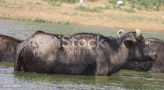milky Buffalo group,Indian buffalo or domestic Asian water buffalo in ground at water lake,The water buffalo (Bubalus bubalis) or domestic water buffalo is a large bovid originating in the Indian subcontinent,