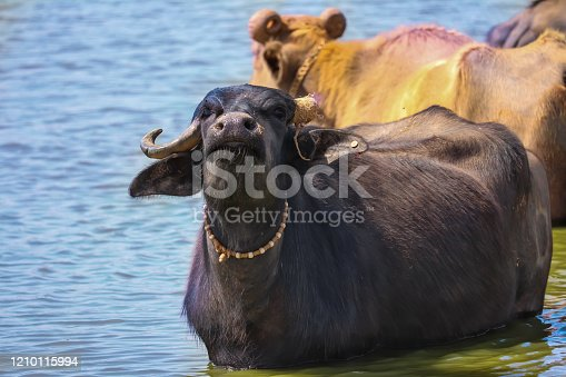 milky Buffalo group in lake and watching camera side,Gujarati Buffalo group in lake,Three Asian buffalo inside the lake for bathing
