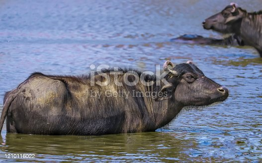 buffalo crossing a river in the Lake Nakuru National Park ,indian buffaloes bathing in lake,Buffaloes natural habitat in india