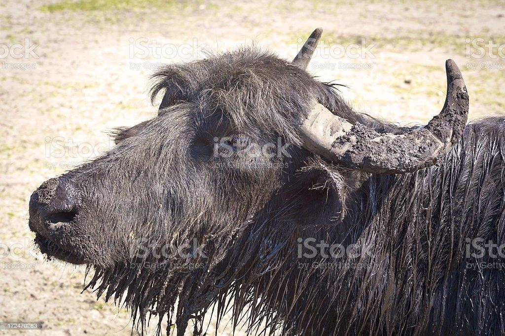 The water buffalo royalty-free stock photo