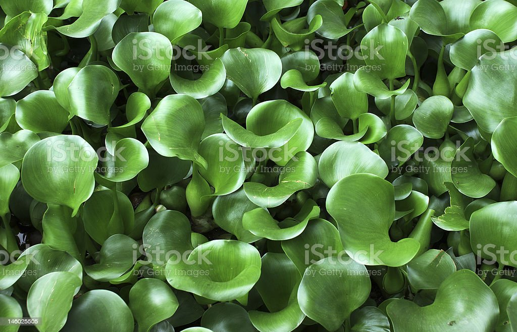 The Water Hyacinth Pond royalty-free stock photo