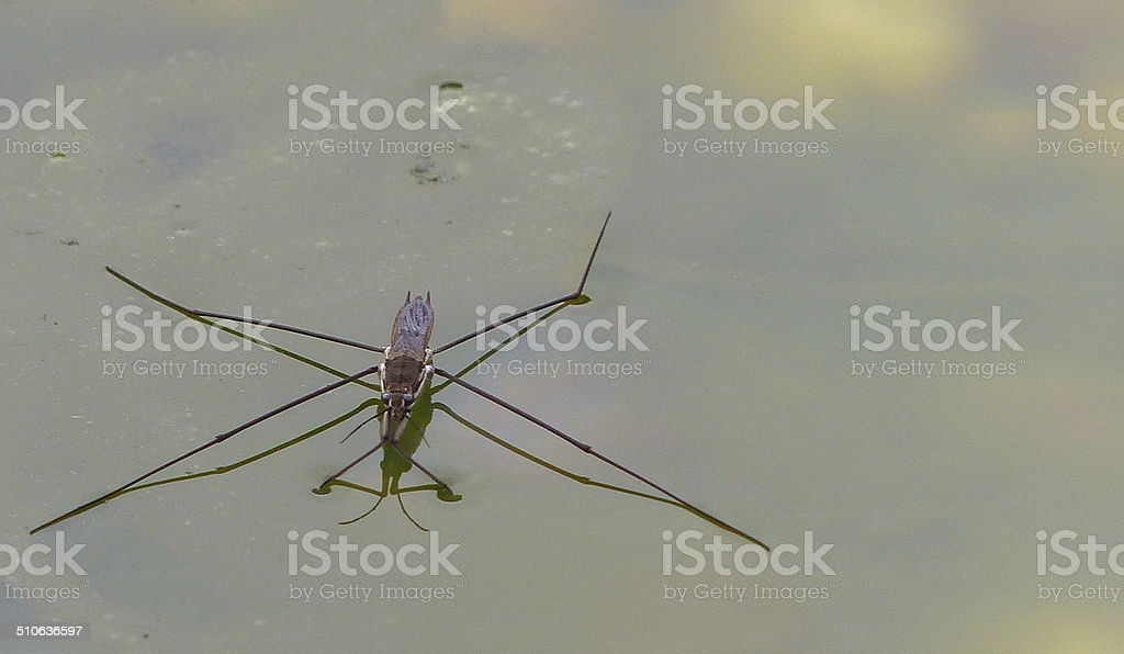 The Water Skater Gerris lacustris and the Pond C stock photo