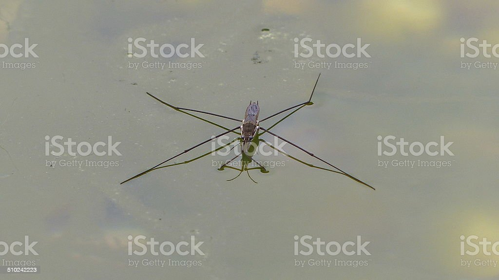 The Water Skater Gerris lacustris and the Pond stock photo