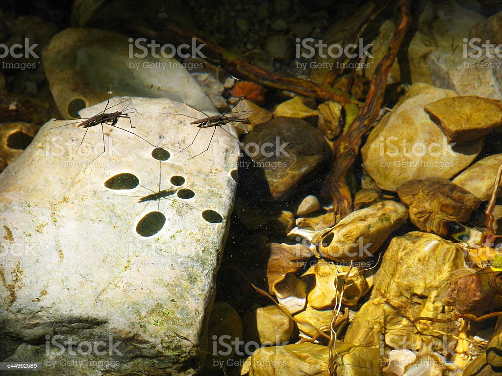 The water strider shadow stock photo
