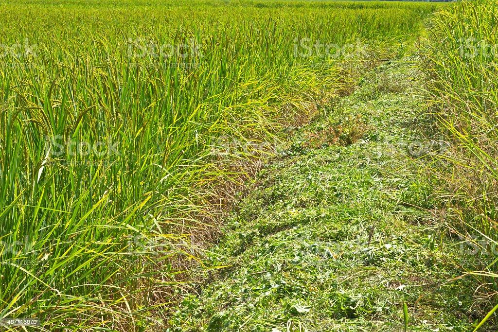 Die Fahrt in grüne Reisfeld – Foto