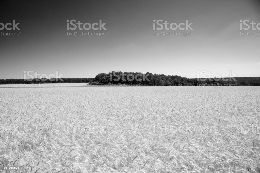 The weat field in black and white stock photo