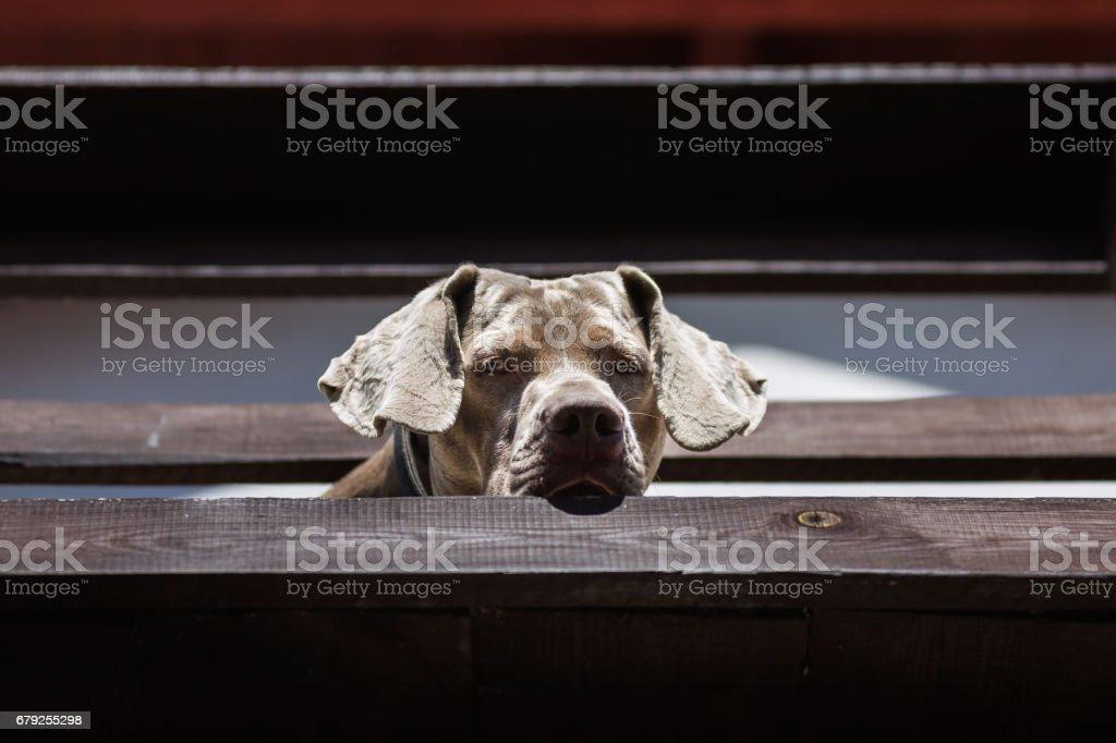 Le chien Braque de Weimar photo libre de droits