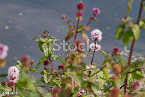 istock Flowers of wild mint Mentha aquatica in a stream 175404790