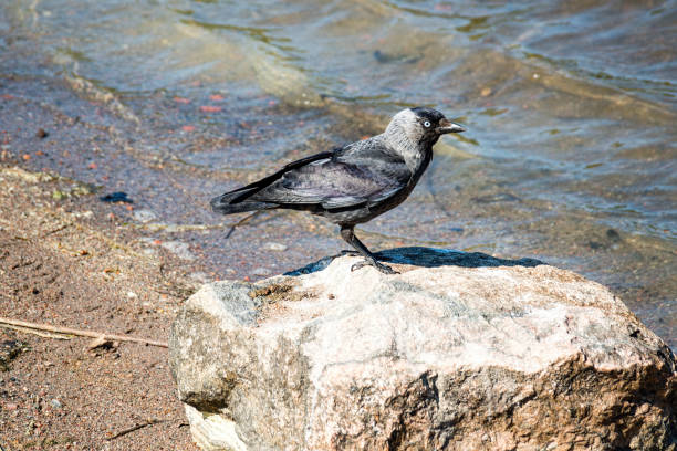 The western jackdaw (Coloeus monedula).