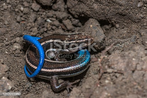 The western skink (Plestiodon skiltonianus) is a species of small, smooth-scaled lizard with relatively small limbs.