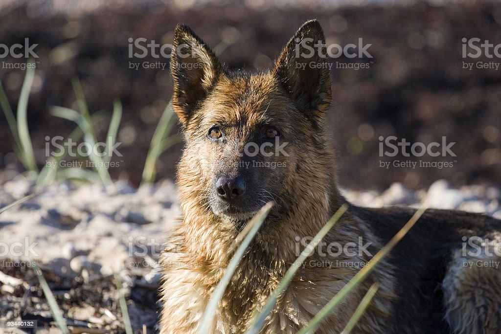 The wet sheep-dog royalty-free stock photo