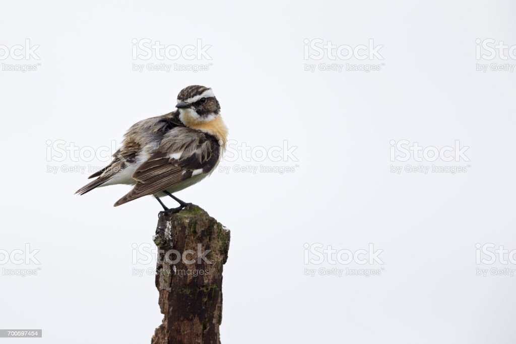 The whinchat (Saxicola rubetra) perched on a branch cleaning its feathers. stock photo