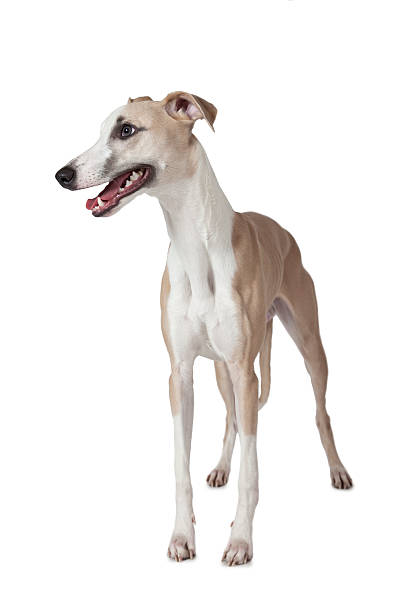The Whippet dog isolated on white Whippet dog standing on white background and looking to the side. whippet stock pictures, royalty-free photos & images