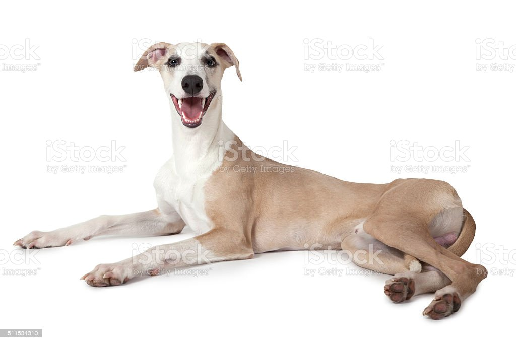 The Whippet dog lying over white stock photo